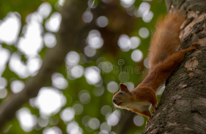 Red squirrel on a tree, with a beautiful bokeh in the background. Low depth of sharpness. Animal cute nature branch adorable wild brown funny fur mammal outdoor royalty free stock photography