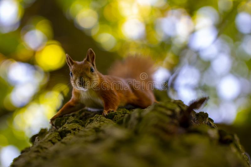 Red squirrel on a tree, with a beautiful bokeh in the background. Low depth of sharpness. Animal cute nature branch adorable wild brown funny fur mammal outdoor royalty free stock photo