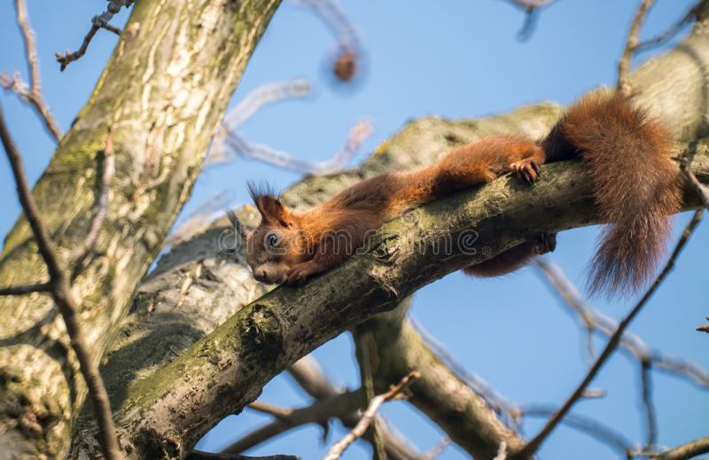 Red Squirrel On The Tree royalty free stock photos