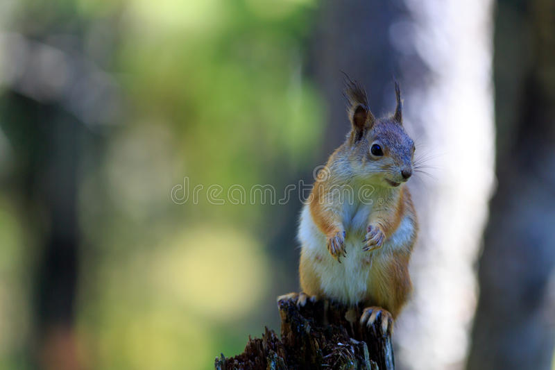 Red Squirrel - Vantage point. There were three Red Squirrels visiting the bird feeder in Wild Brown Bear lodge near Lentiira, Finland. This one came too close royalty free stock image