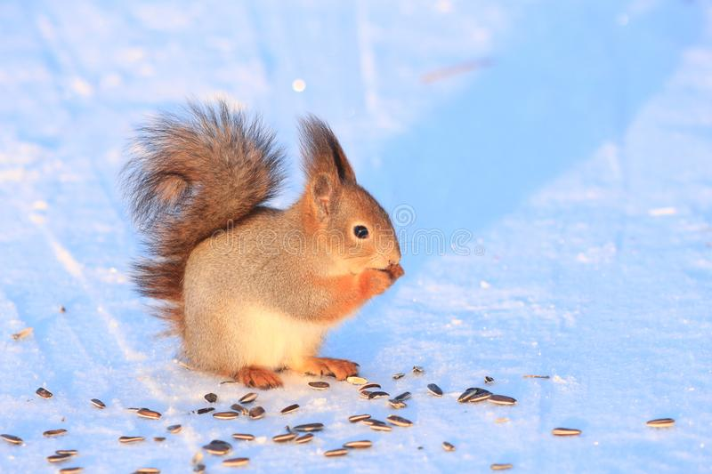 Red squirrel on white snow. Red-haired squirrel on white snow in the park royalty free stock image