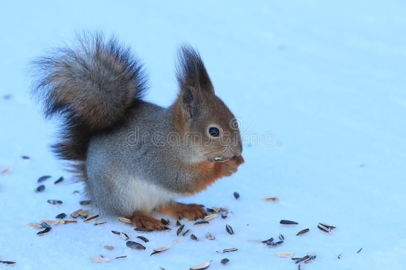 Red squirrel on white snow. Red-haired squirrel on white snow in the park stock photography