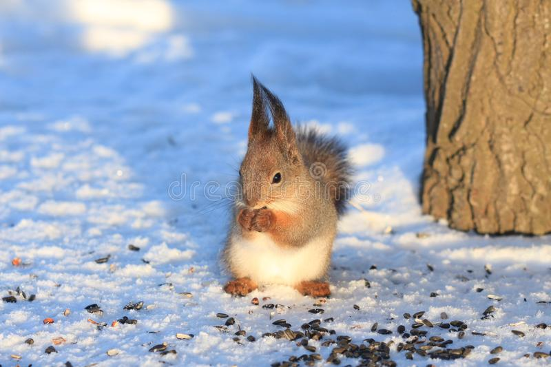 Red squirrel on white snow. Red-haired squirrel on white snow in the park stock image