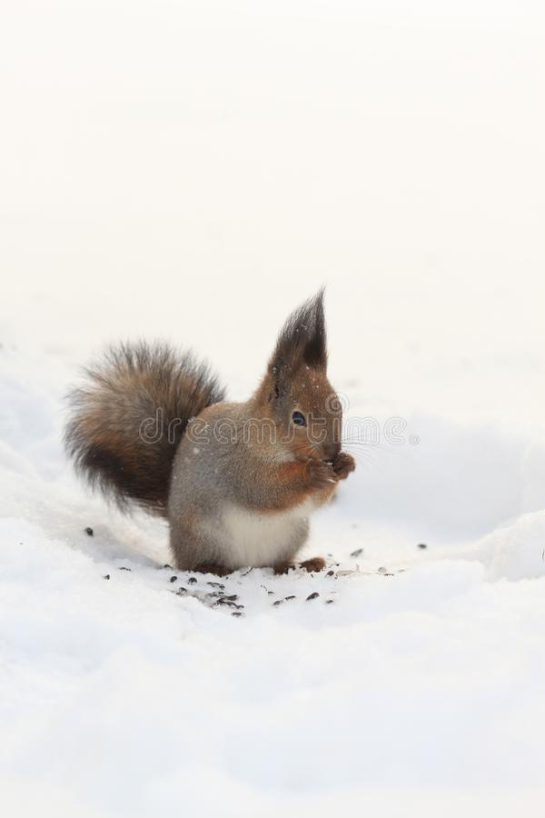 Red squirrel on white snow. Red-haired squirrel on white snow in the park stock images