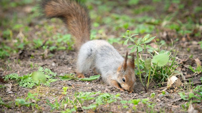 Red Squirrel in winter plumage in spring in Park. Red Squirrel in winter plumage in the spring in the Park. Squirrel buries a nut in the ground stock image