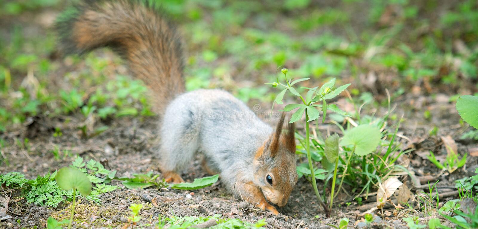 Red Squirrel in winter plumage in spring in Park. Red Squirrel in winter plumage in the spring in the Park. Squirrel buries a nut in the ground stock photo