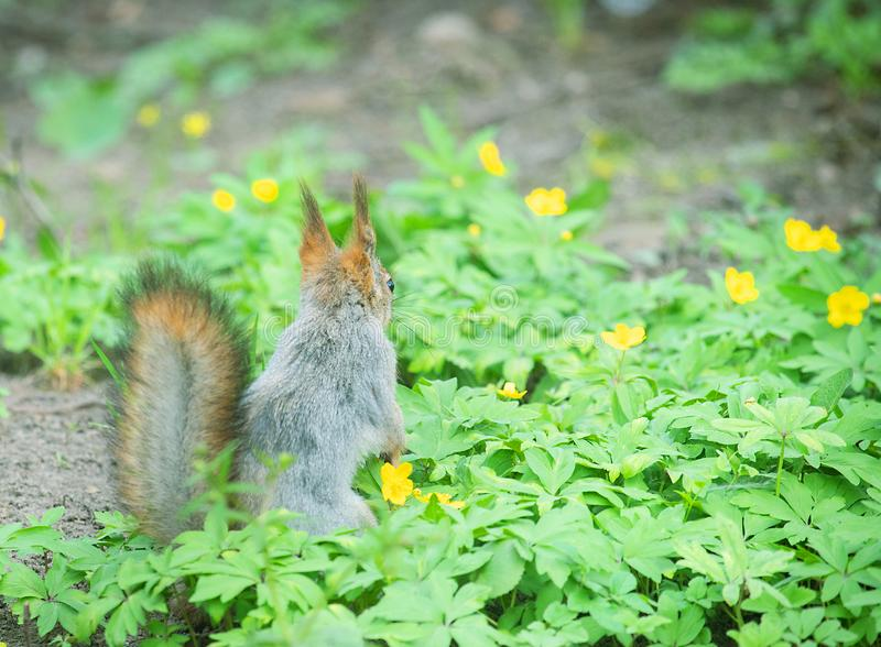 Red Squirrel in winter plumage in spring in Park. Red Squirrel in winter plumage in the spring in the Park. Squirrel buries a nut in the ground royalty free stock photography