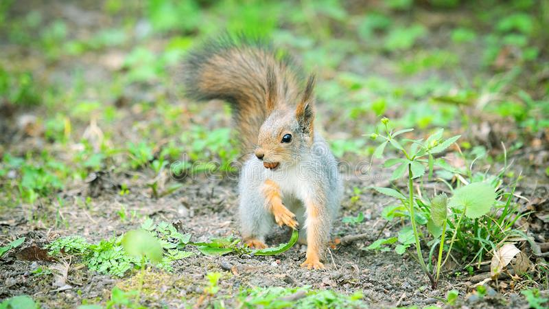 Red Squirrel in winter plumage in spring in Park. Red Squirrel in winter plumage in the spring in the Park. Squirrel buries a nut in the ground stock photography