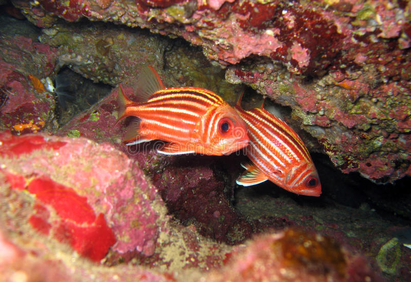 Red squirrelfish royalty free stock photography