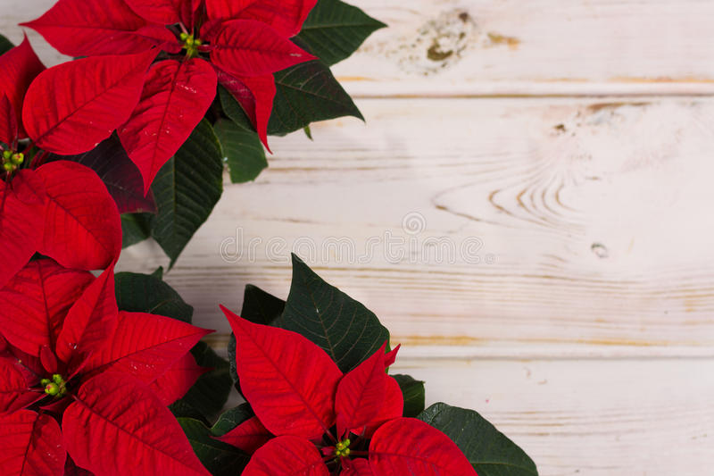 Red star Christmas flower poinsettia on rustic wooden background stock photography