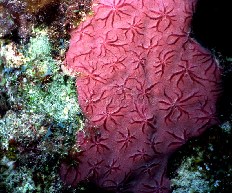 Download Red star coral detail stock photo. Image of star, coral - 13543580