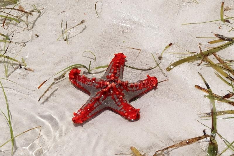 Red starfish on Diana Beach royalty free stock photo