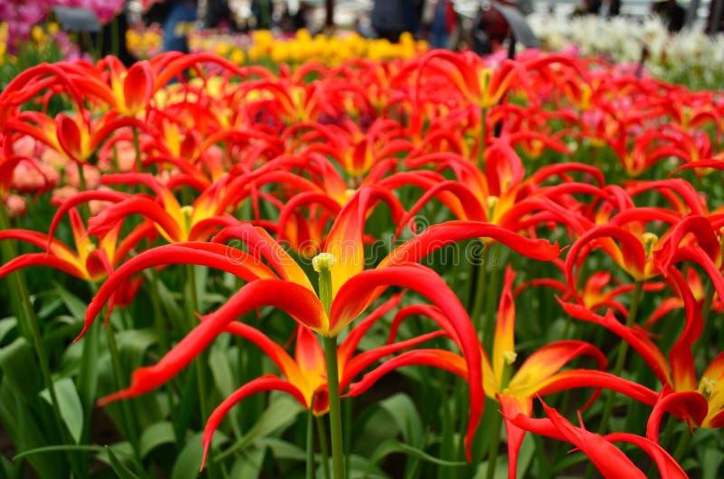 Red star-like tulip closeup in Keukenhof garden stock photography