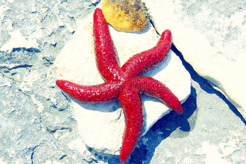 Red Starfish. A large vital red starfish (Fromia elegans) on rock (sea star