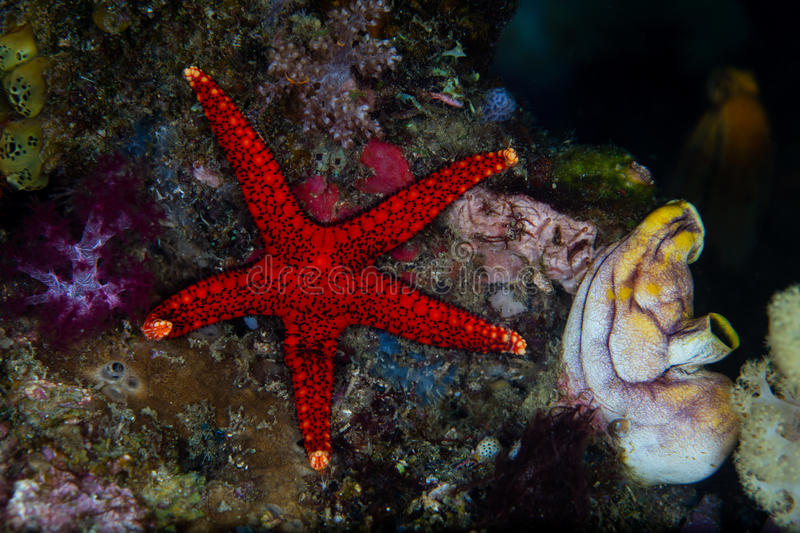 Red Starfish Clings to Reef in Raja Ampat. A bright red starfish clings to a coral reef in Raja Ampat, Indonesia. This tropical region is known for its stock images