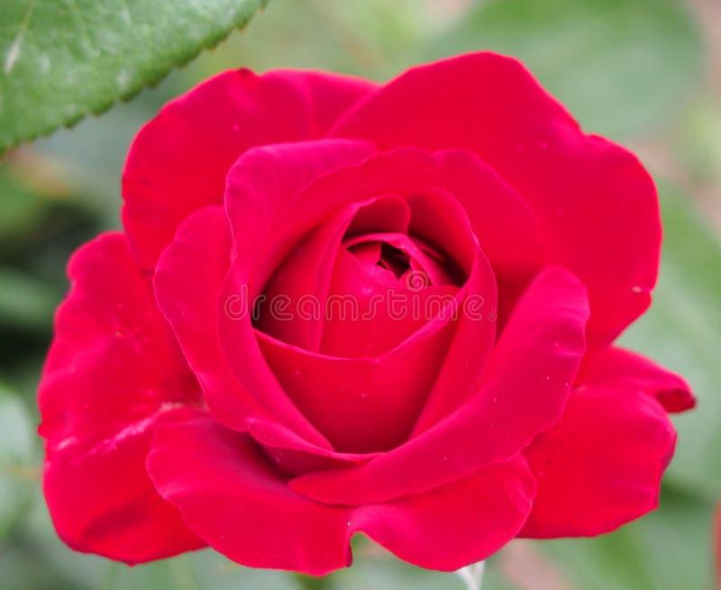 Download Red steg arkivfoto. Bild av gåva, älskvärt, rött, naturligt - 76703880