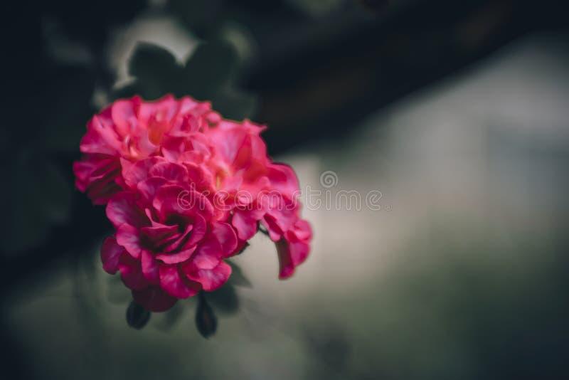 red steg Stor blomningblomma royaltyfria bilder