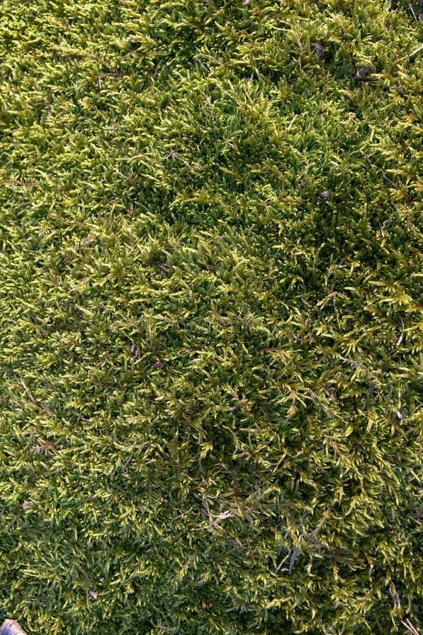 Red-stemmed feather moss Pleurozium schreberi background stock photo