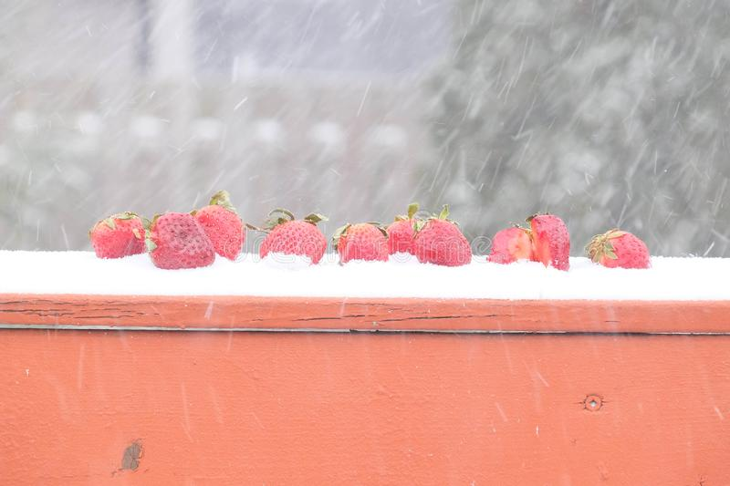 Red strawberries lined up in the snow on a winter`s day stock image