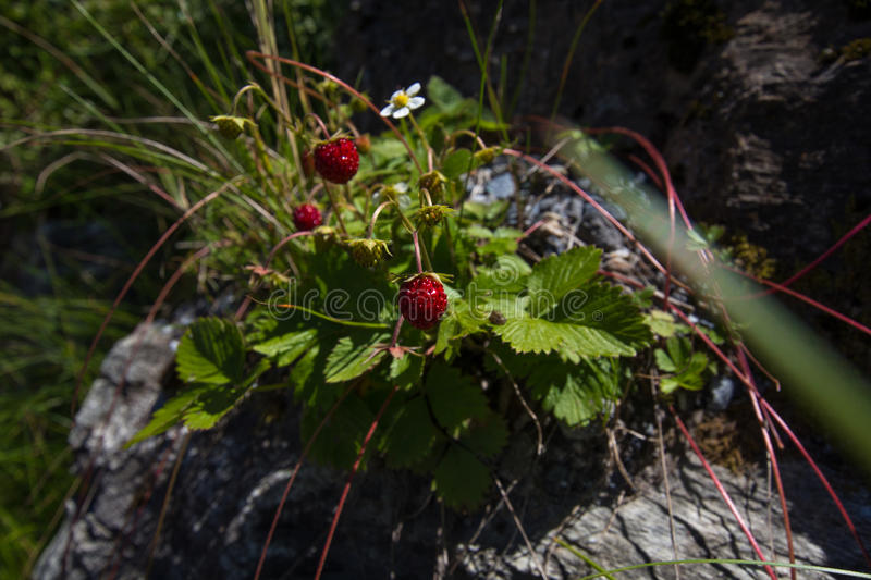 Red strawberries and white flower on a stone royalty free stock image