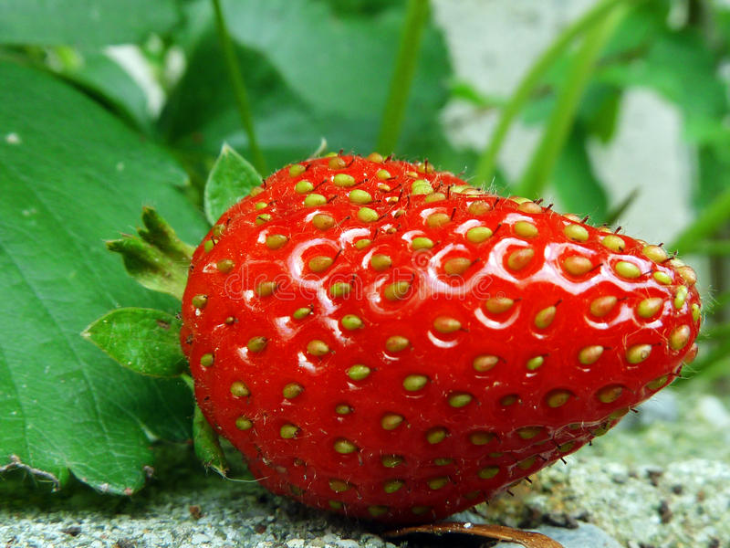 Red Strawberry on Plant Closeup stock photos