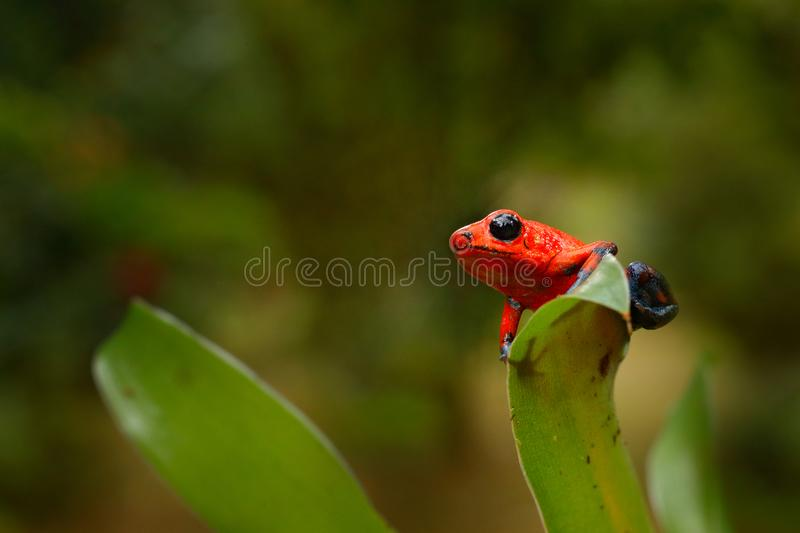 Red Strawberry poison dart frog, Dendrobates pumilio, in the nature habitat, Costa Rica. Close-up portrait of poison red frog. Rar. E Amphibian in the tropic royalty free stock image