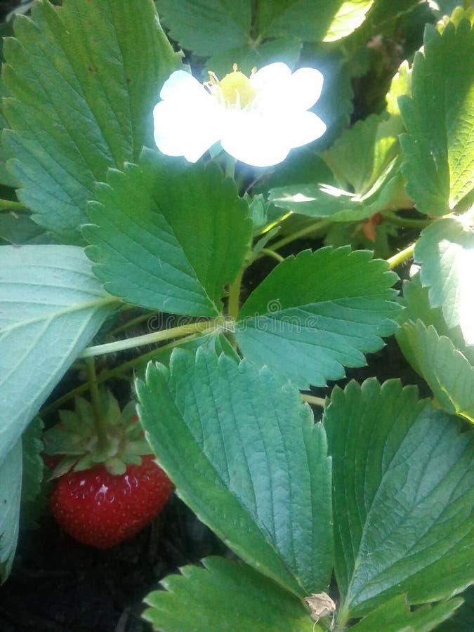 Strawberry hiding stock image