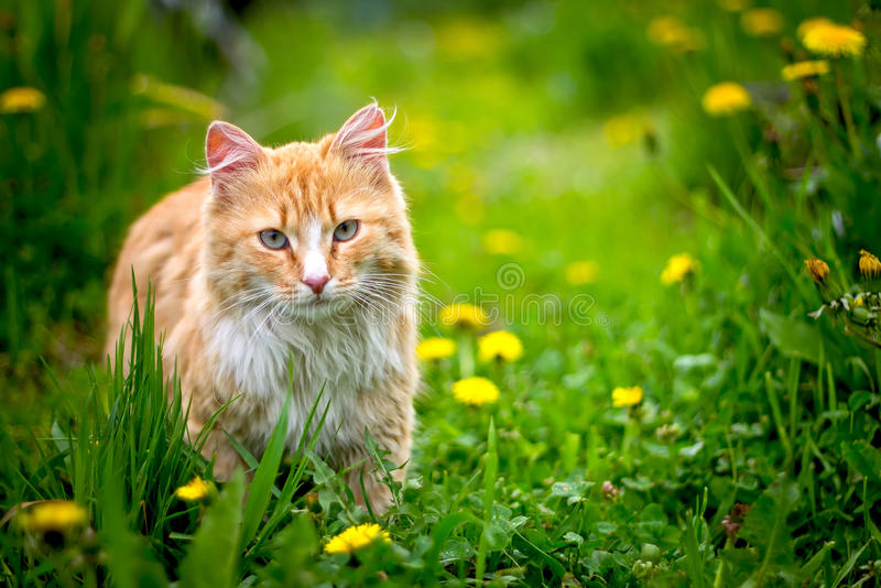 Red stray cat outdoor in nature stock image