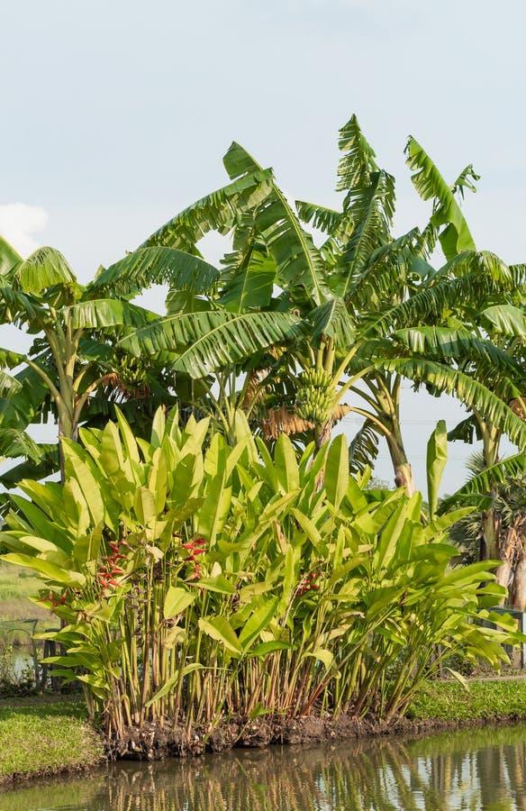 Red Strelitzia reginae Ait and banana trees along the pond. royalty free stock photos