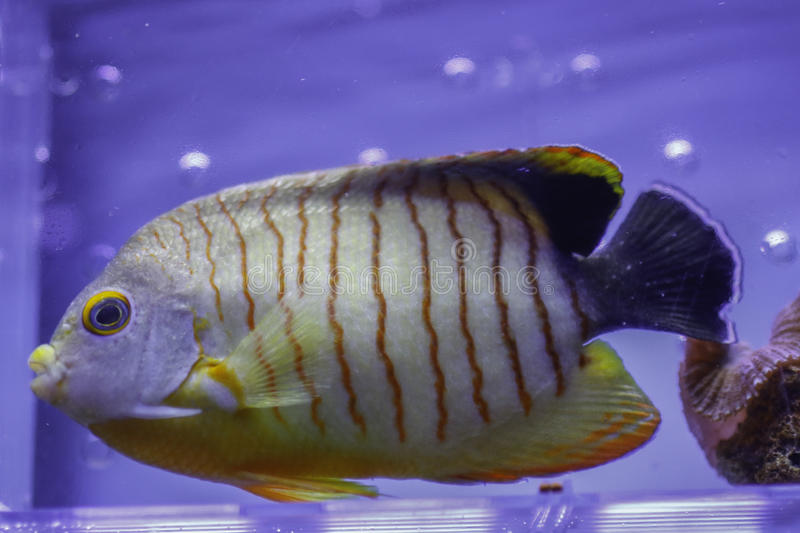 Red Stripe Angelfish stock photos