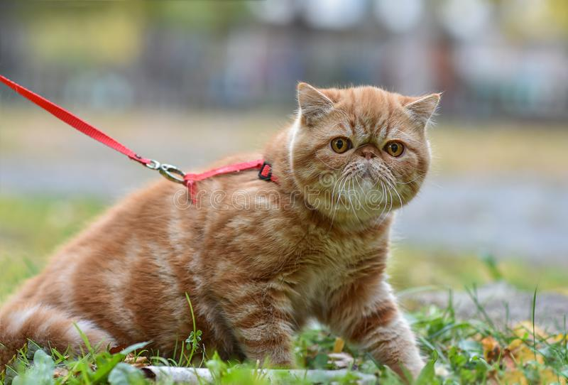 Red striped exotic cat with a leash walking in the yard. Young cute Persian cat in harness sitting on the lawn. Pets walk outdoors, adventure on the green royalty free stock image