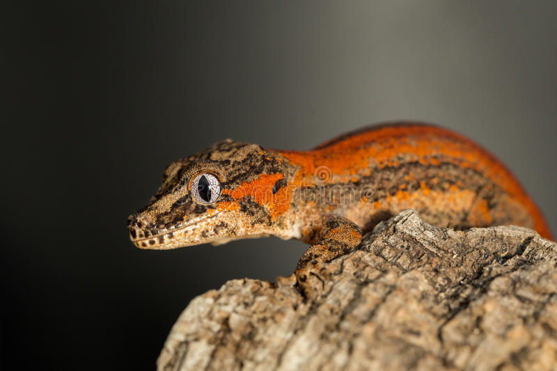 Red striped Gargoyle gecko on a tree trunk. Red striped new Caledonian bumpy gecko, Rhacodactylus auriculatus, on a tree trunk royalty free stock image