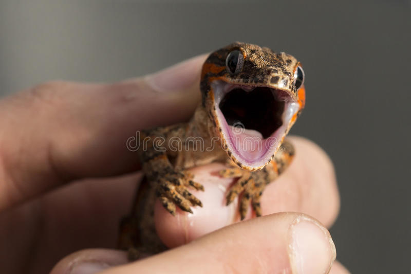 Red striped new Caledonian bumpy gecko with open mouth. Red striped new Caledonian bumpy gecko, Rhacodactylus auriculatus, with open mouth in the hand of a man stock photo