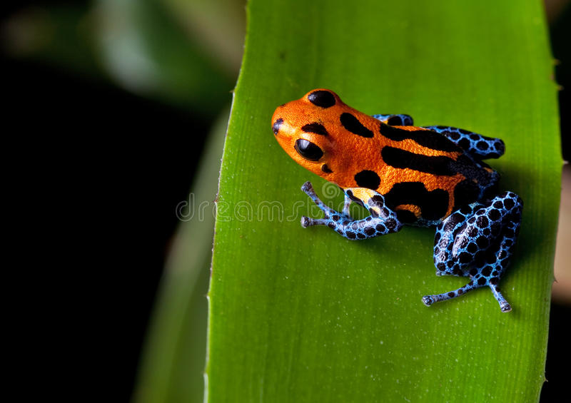 Red striped poison dart frog blue legs royalty free stock image