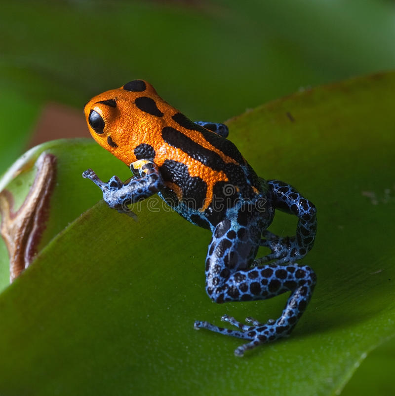 Red striped poison dart frog blue legs stock image
