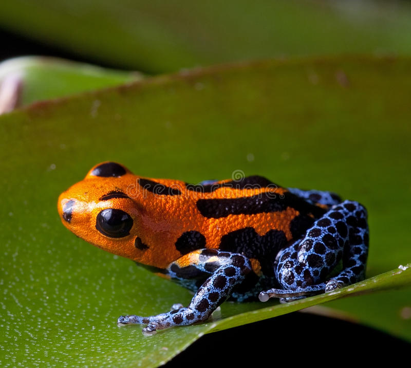 Download Red Striped Poison Dart Frog Blue Legs Stock Photo - Image: 26137218