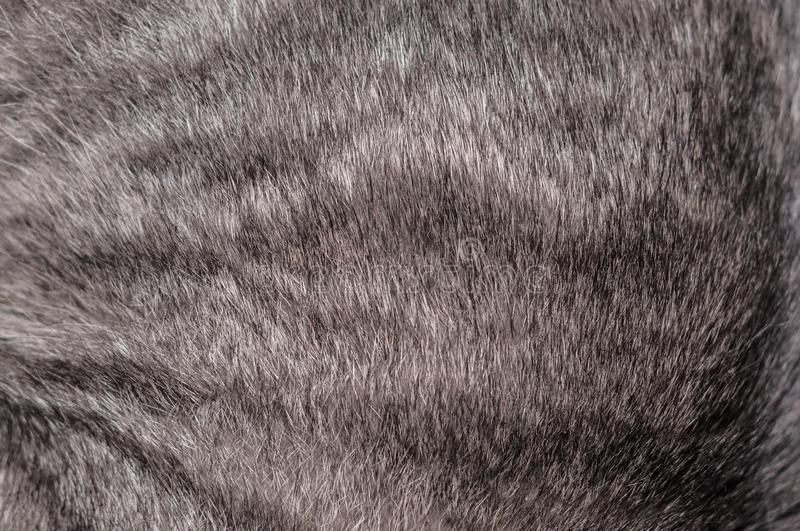 Grey cat natural fur texture backgroung for wallpaper. Red stripped grey cat natural fur texture backgroung for wallpaper royalty free stock photography