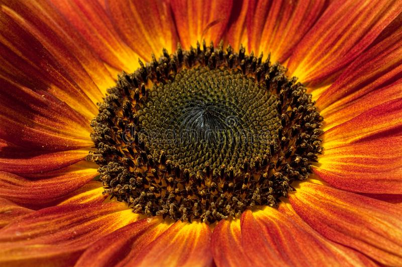 Download Red sunflower closeup stock image. Image of flower, orange - 15819521