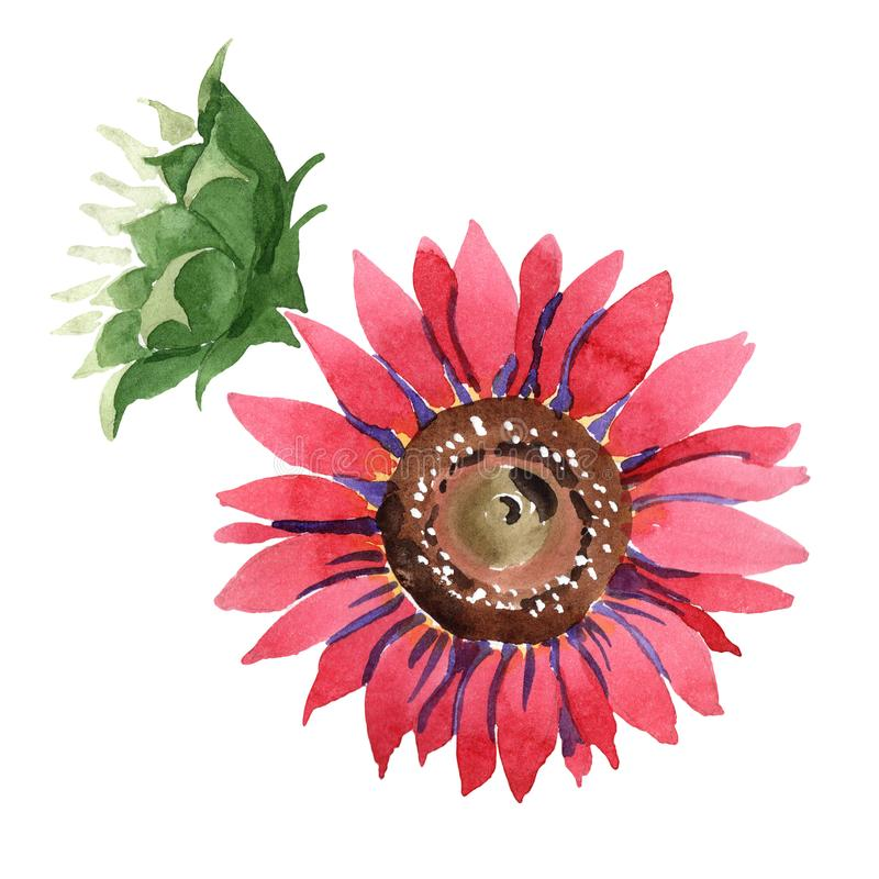 Red sunflower. Floral botanical flower. Isolated illustration element. Aquarelle wildflower for background, texture, wrapper pattern, frame or border stock photography