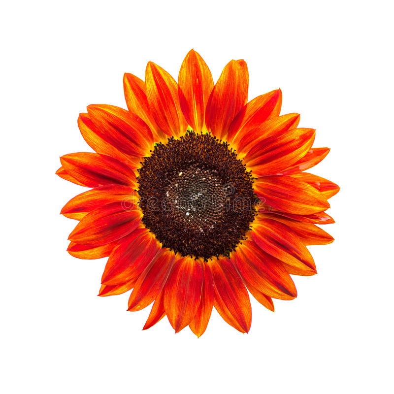 Free Red Sunflower On White Background Stock Images - 78180844