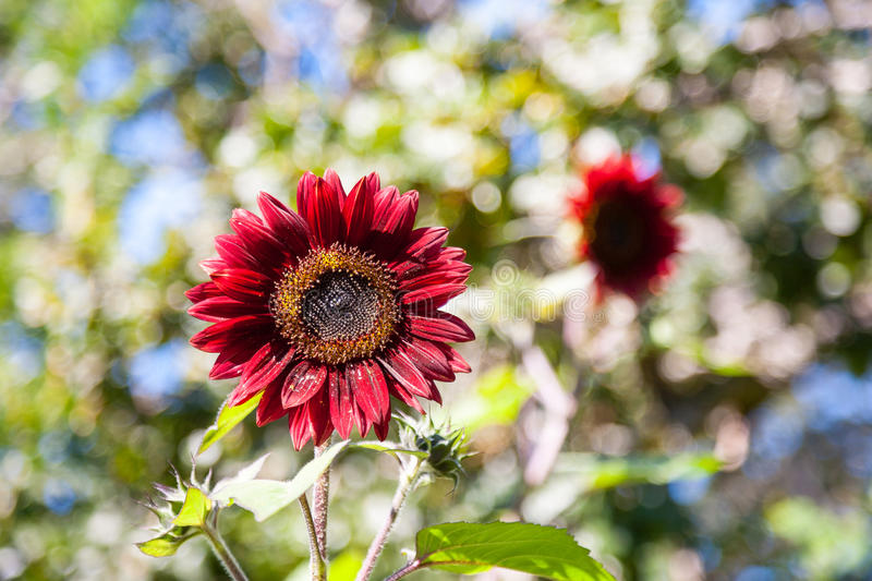 Red sunflowers. In the garden stock image