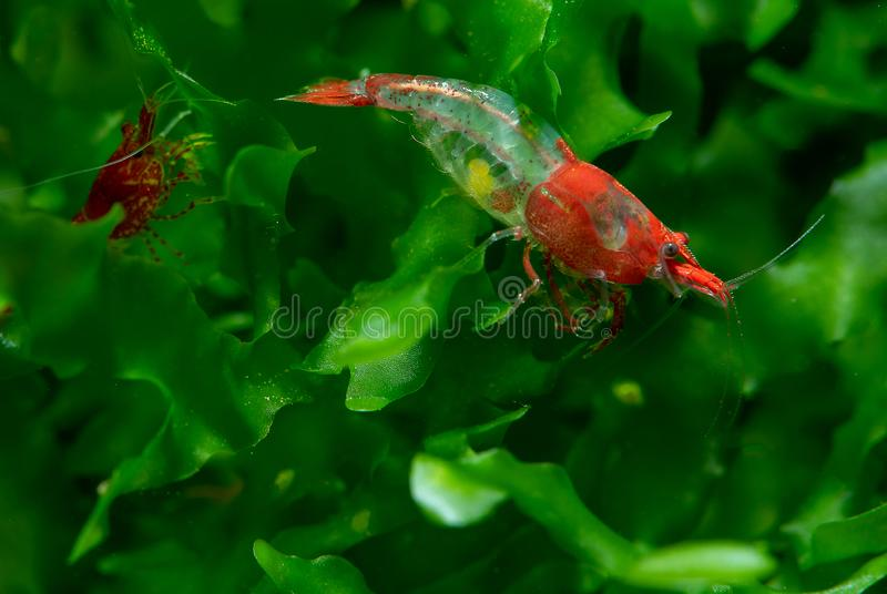 Red sushi dwarf shrimp with pregnancy stay on green aquatic plant in fresh water aquarium tank stock photography
