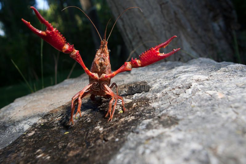 Red swamp crawfish. Portrait of procambarus clarkii, a freshwater crayfish species, native to the Southeastern United States, but found also on Europe, where it royalty free stock photo