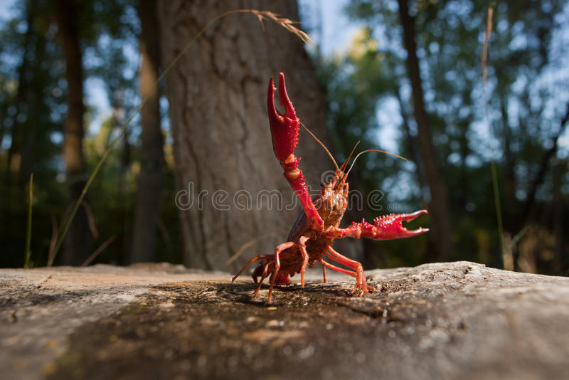 Red swamp crawfish. Portrait of procambarus clarkii, a freshwater crayfish species, native to the Southeastern United States, but found also on Europe, where it stock images
