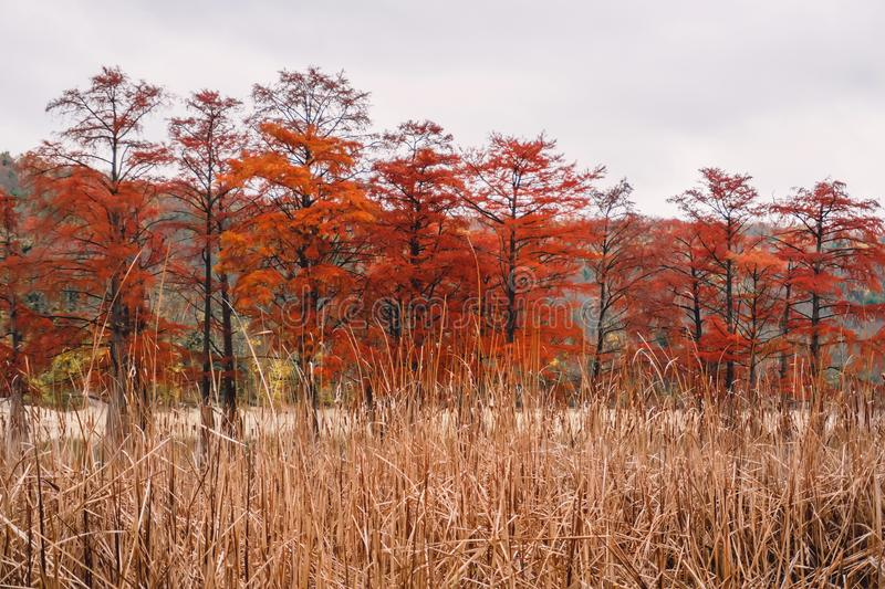 Red swamp cypresses and lake, autumn background. Cloudy day royalty free stock image