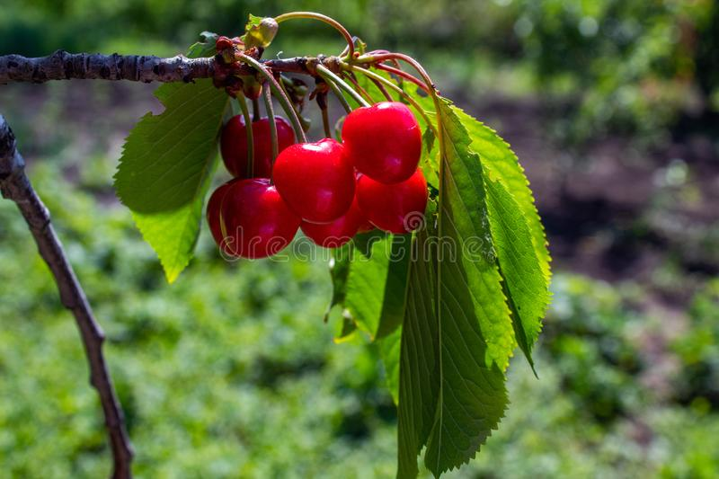 Red sweet cherry hanging on a branch. royalty free stock photos