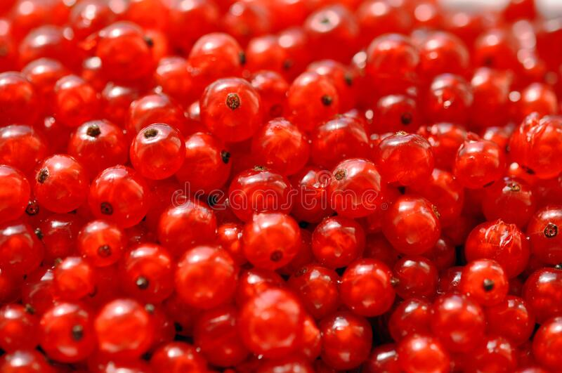 Red sweet currant berry background, summer harvest. Red sweet juicy currant berry background, summer harvest royalty free stock image