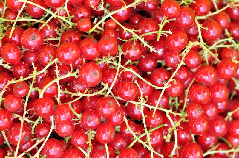 Red sweet currant berry background, summer harvest. Red sweet juicy currant berry background, summer harvest royalty free stock photo