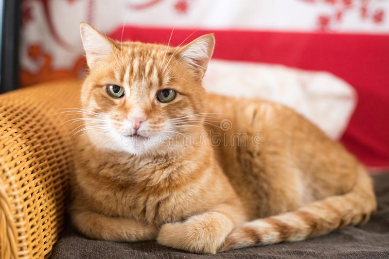 Red tabby cat is lying on the couch and enjoying at home. Close up picture of red tabby cat relaxing at home, pet, cozy, concept, indoor, lovely, sweet, soft stock photography