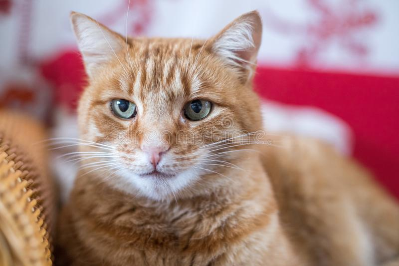 Red tabby cat is lying on the couch and enjoying at home. Close up picture of red tabby cat relaxing at home, pet, cozy, concept, indoor, lovely, sweet, soft royalty free stock photography